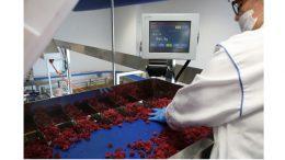 Ein Bediener verteilt die Früchte in die Zuführrinnen der Mehrkopfwaage CCW-M 106.
