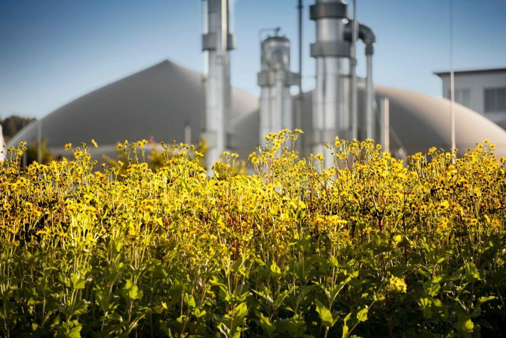 Silphie Pflanzen zur Herstellung von Verpackungen