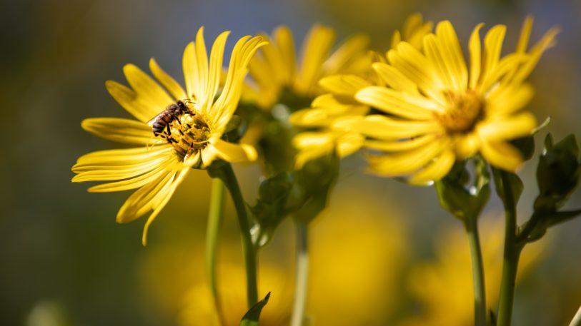 Blüte der Durchwachsenen Silphie, Papier aus Silphiefasern