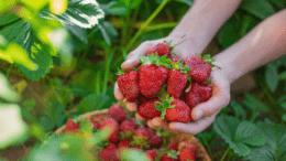 Biofolie schützt Erdbeeren